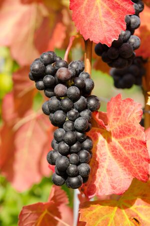 cabernet: Red vine grapes of Cabernet dorsa with red autum leafs