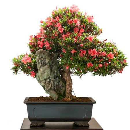 Isolated Rhododendron indicum bonsai tree with red flowers