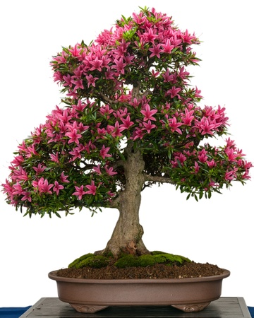 Pink flower of a azalea bonsai tree (Rhododendro indicum Korin)