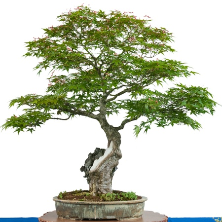 acer palmatum: Japanese maple tree (Acer palmatum) as bonsai in a pot Stock Photo