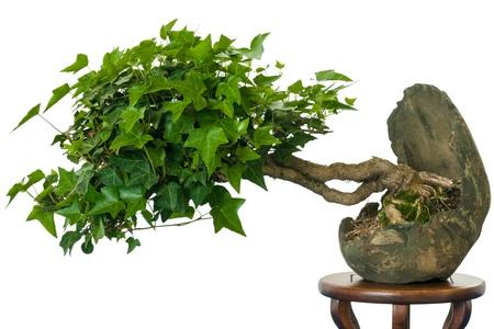 白い背景の前で鍋に盆栽としてアイビー (ヘデラ ・ ヘリックス)