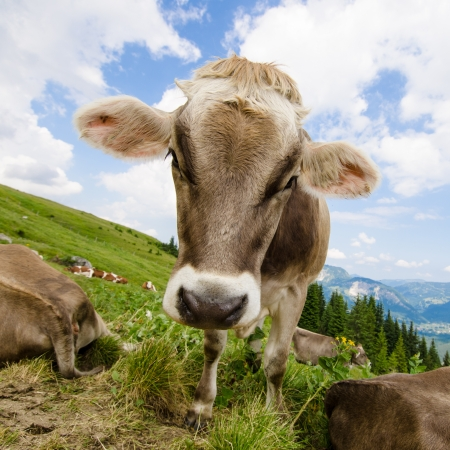Brown cow on green pasture in the tirolean mountains Standard-Bild