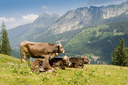 allgau: Pastoral economy with cattles on a pasture in the mountains