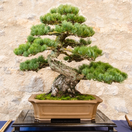 Japanese five needle pine (Pinus parvifolia) as bonsai tree in a pot photo