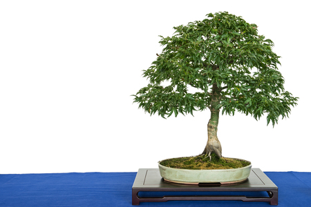 Lion`s head maple bonsai tree (Acer palmatum) with copy space