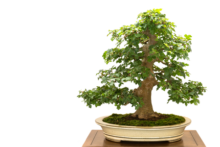acer: White isolated Field maple (Acer campestre as bonsai tree Stock Photo