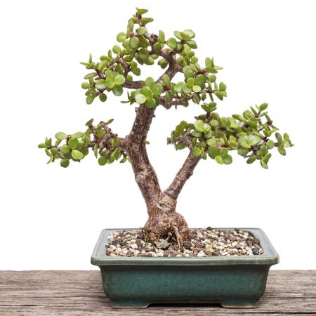 White isolated Dwarf jade plant (Portulacaria afra) as bonsai tree