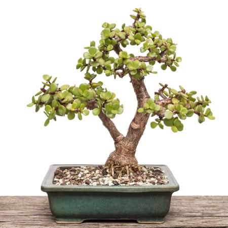 White isolated Elephant bush (Portulacaria afra) as bonsai tree