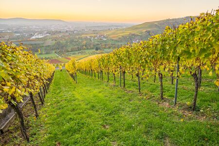 Vineyard in Germany with autumn colouring in the twilight of the evening