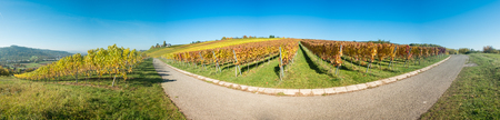 Vineyard panorama scenery with vines in autumn and a clear blue sky