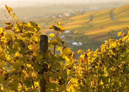 Yellow vine leaves in a vineyard in the sunlight of the evening Stock Photo