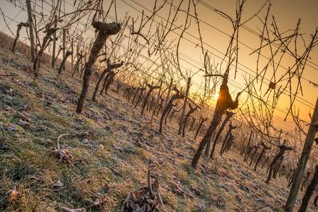 Orange sun in winter in a vineyard with vines
