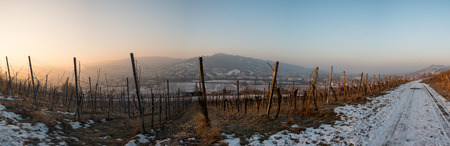 stakes: Sunrise in winter in a vineyard with vines as panorama