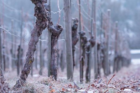 icily: Vines with gnarled bark in a vineyard and cold winter