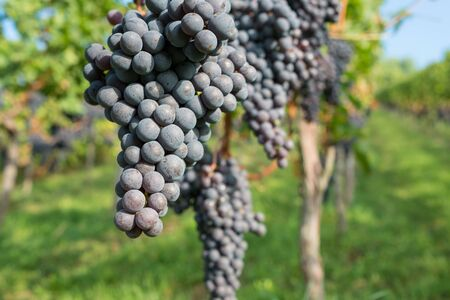pinot noir: Red pinot noir grapes at a vine in a vineyard