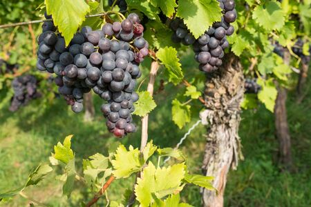 pinot noir: Pinot noir grapes at a vine befor harvest Stock Photo