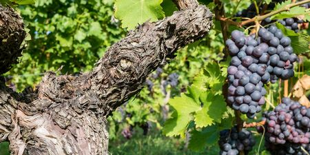 pinot noir: Gnarled vine with pinot noir grapes in a vineyard