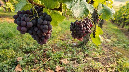 pinot noir: Bunch of grapes of Pinot Noir in a vineyard, Stock Photo