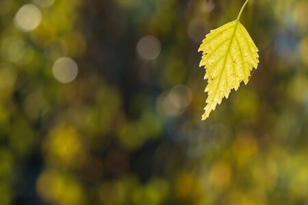 Yellow birch leaf in autumn colouring with blurred bokeh