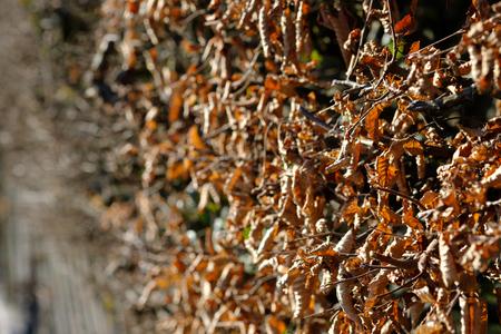 Haag met haagbeuken (Carpinus betulus) met bruin blad in de winter