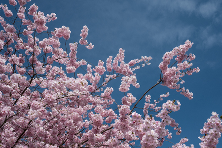 春のオリエンタル チェリー (ヤマザクラ) のピンクの花