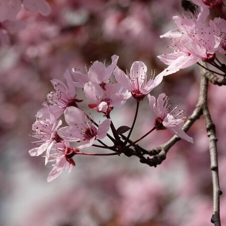 Pink flowers of a cherry plum (Prunus cerasifera) with bokeh in background Stock Photo