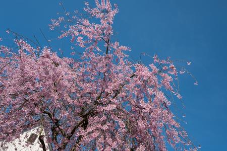 観賞用の桜の木 (ヤマザクラ) 春にピンクの花