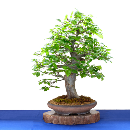 Bonsai tree hornbeam (Carpinus betulus) white isolated