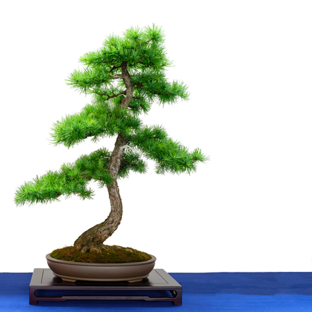 Conifer european larch (Larix decidua) as bonsai tree white isolated Imagens