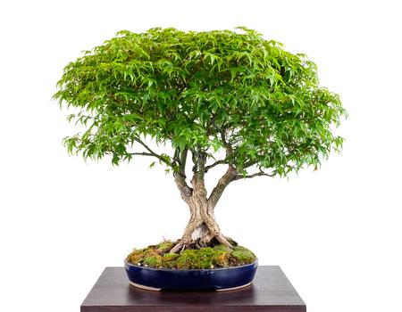 日本のカエデ木盆栽 (イロハモミジ清) 白い分離
