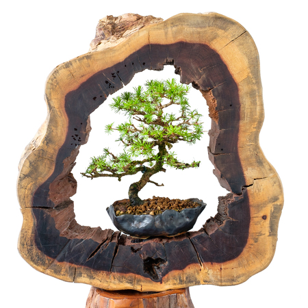 Young and old bonsai tree in comparison between old trunk and young larix tree