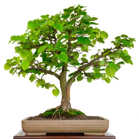 tilia cordata: Linden tree as bonsai in a pot white isolated