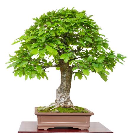 Old oak (Quercus robur) as green bonsai tree white isolated