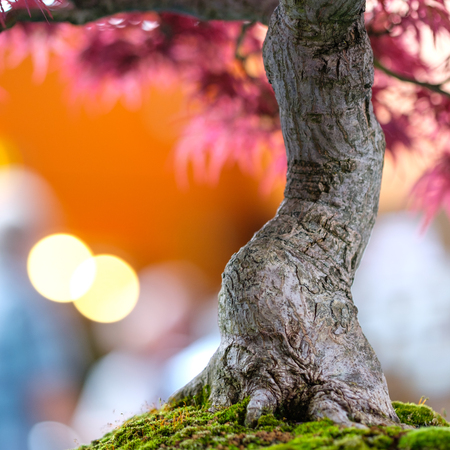 Trunk of a japanese maple bonsai tree as close up with bokeh