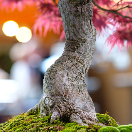Close up japanese maple tree (Acer palmatum) as bonsai with bark