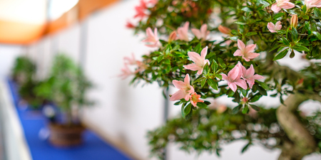 Pink flowers of a azalea (Rhododendron indicum) bonsai tree on a exhibition