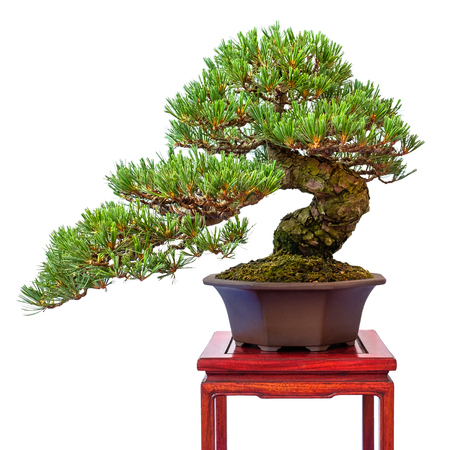Conifer japanese white pine (Pinus parviflora) as bonsai tree