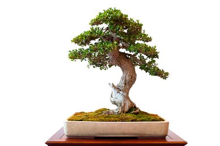 Olive tree with green foliage as bonsai white isolated Stok Fotoğraf