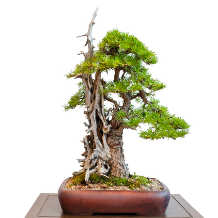 White isolated old conifer larch with dead wood as bonsai tree