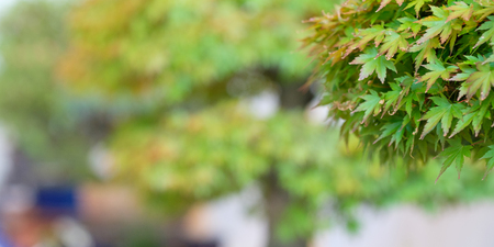 Japanese maple (Acer palmatum) at a bonsai exhibition with blurred background