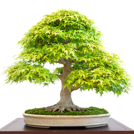 Old deciduous bonsai tree maple (Acer palmatum) tree with green foliage