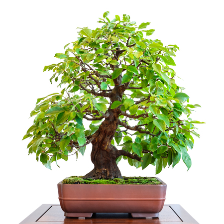 Old quince (Pseudocydonia sinensis) as bonsai tree with foliage Stock Photo