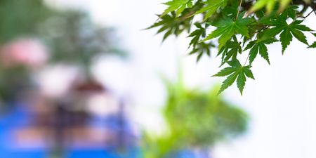 Green foliage maple bonsai tree (Acer palmatum) with blurred background