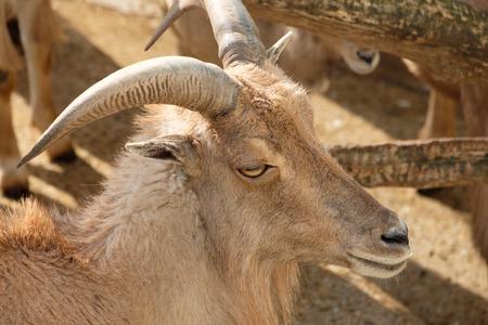 Barbary sheep (Ammotragus lervia) with horns as portrait