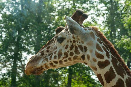 Mammal portrait of a ruminant giraffe (Giraffa) 版權商用圖片