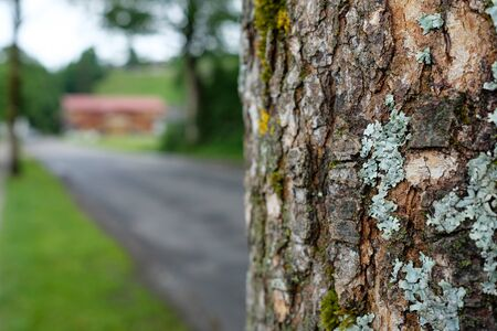 Old tree with rough bark and lichen and moss at a road