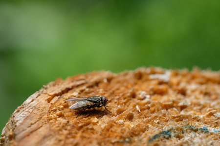 Insect dog or staple fly on wood of a tree trunk