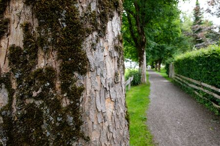 Maple tree bark with moss at a footpath in Oberstdorf Germany