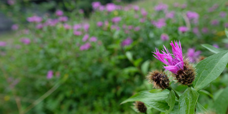 Knapweed (Centaurea) with purple flower on a meadow in panoramic format Stock Photo