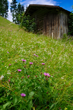 Alpine meadow with purple flowers of knapweed with a wooden hut in vertical format